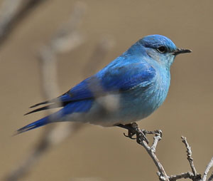 Western Bluebird New Mexico