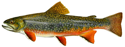 NM Brooktrout