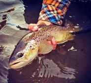 Chama River Brown Trout