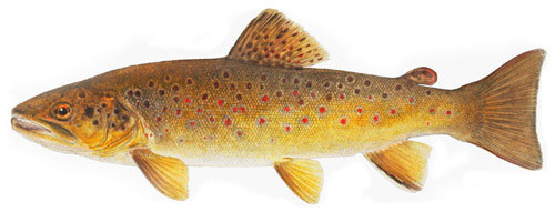 NM Browntrout